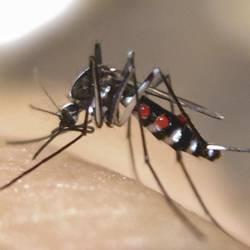 Mosquito malária