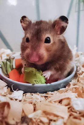 Hamster a comer