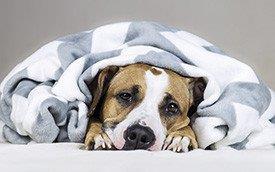 Cão com osteoartrite