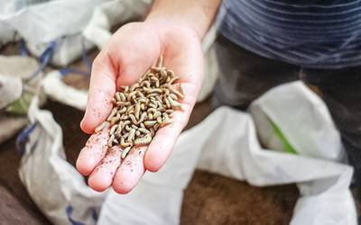 Insetos na alimentação animal tornam setor mais sustentável